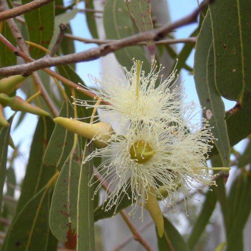 Eucalyptus_tereticornis