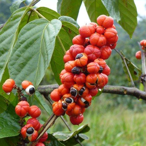 Guarana-essential-oil