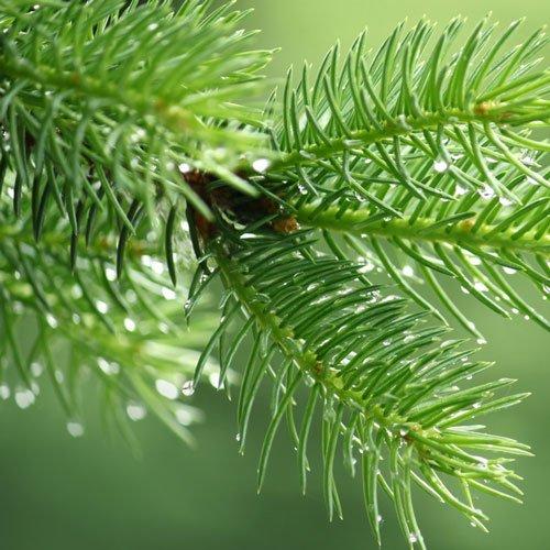 Pine-Needle-Oil